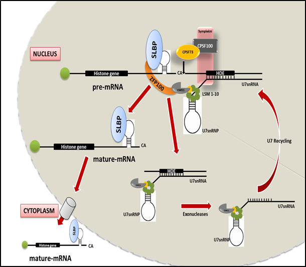 Histone Biogenesis and Cancer